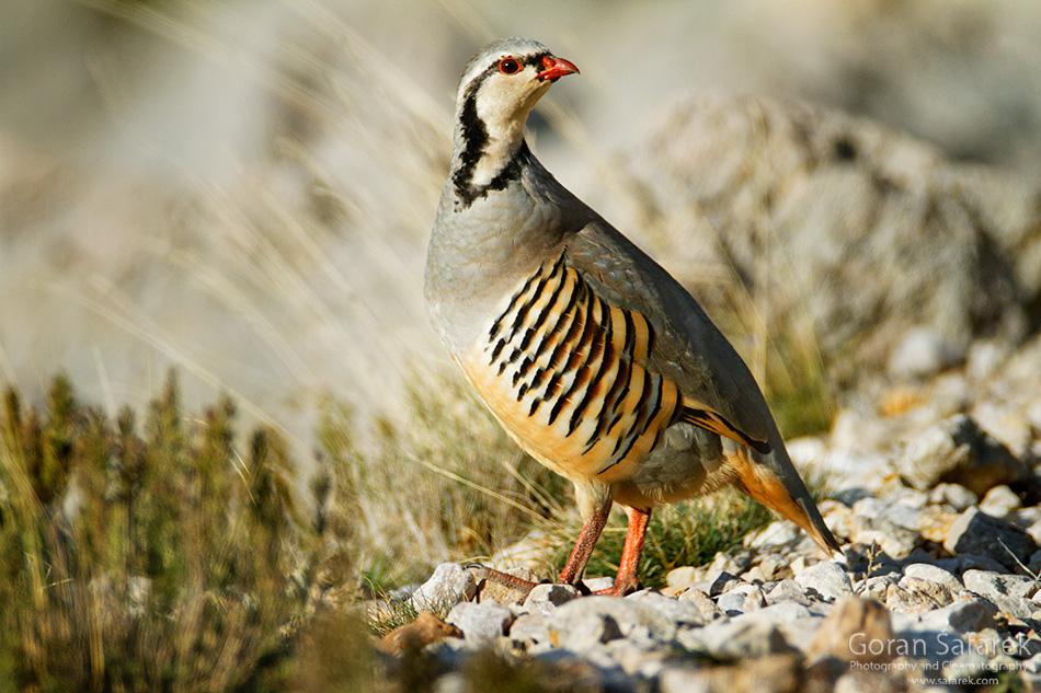 croatia, velebit, lika, mountain, national park, nature park, bird, The rock partridge, Alectoris graeca