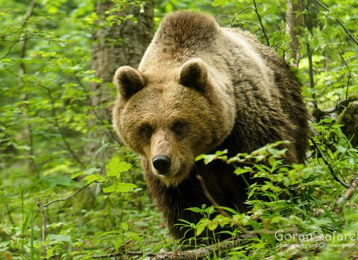 nature, wild, bear, croatia