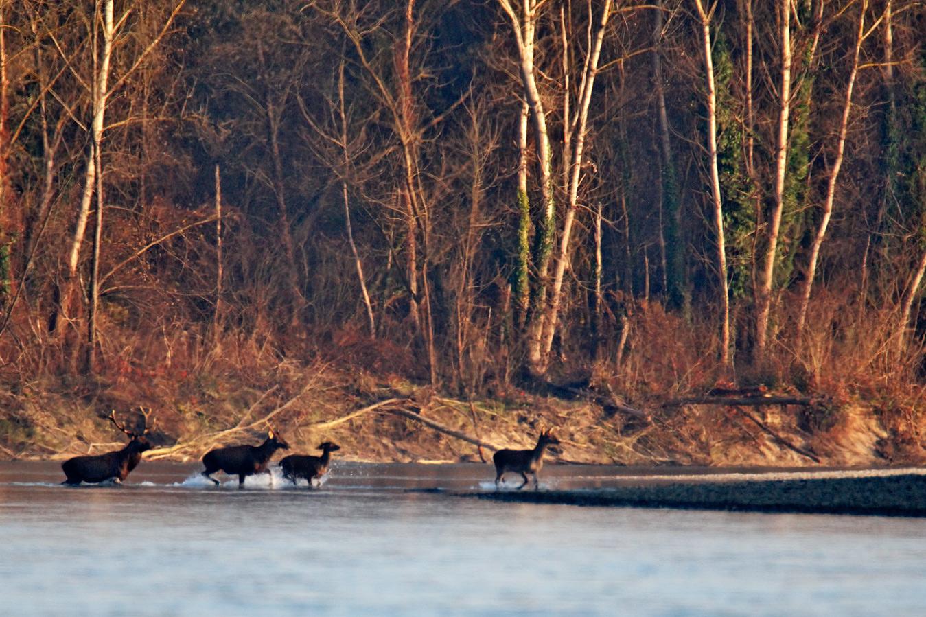 rivers, nature, croatia, drava, deer