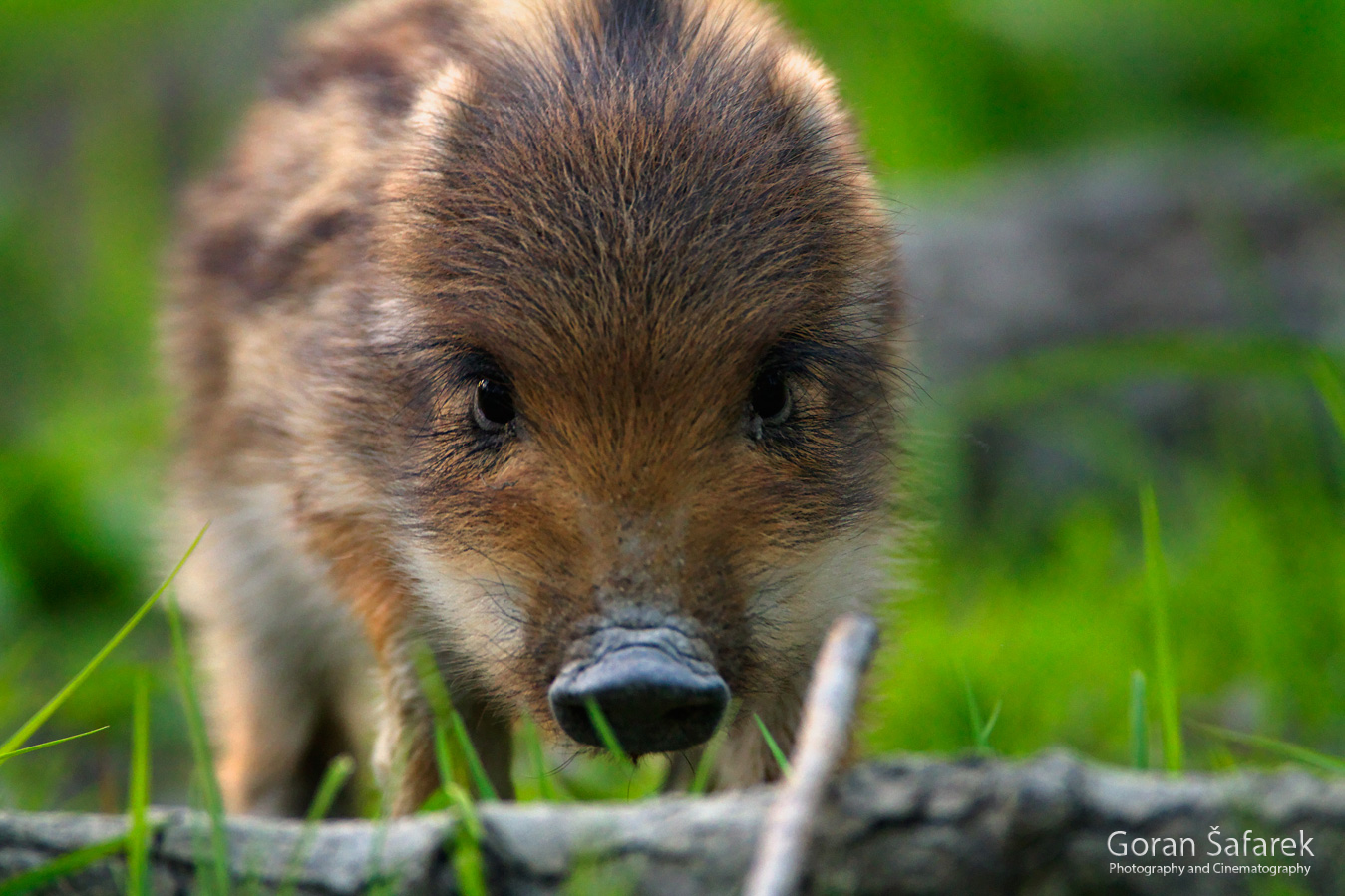 kopački rit, kopacki rit, croatia, baranja, slavonija, nature, floodplain, nature park, wild, wild boar, piglet