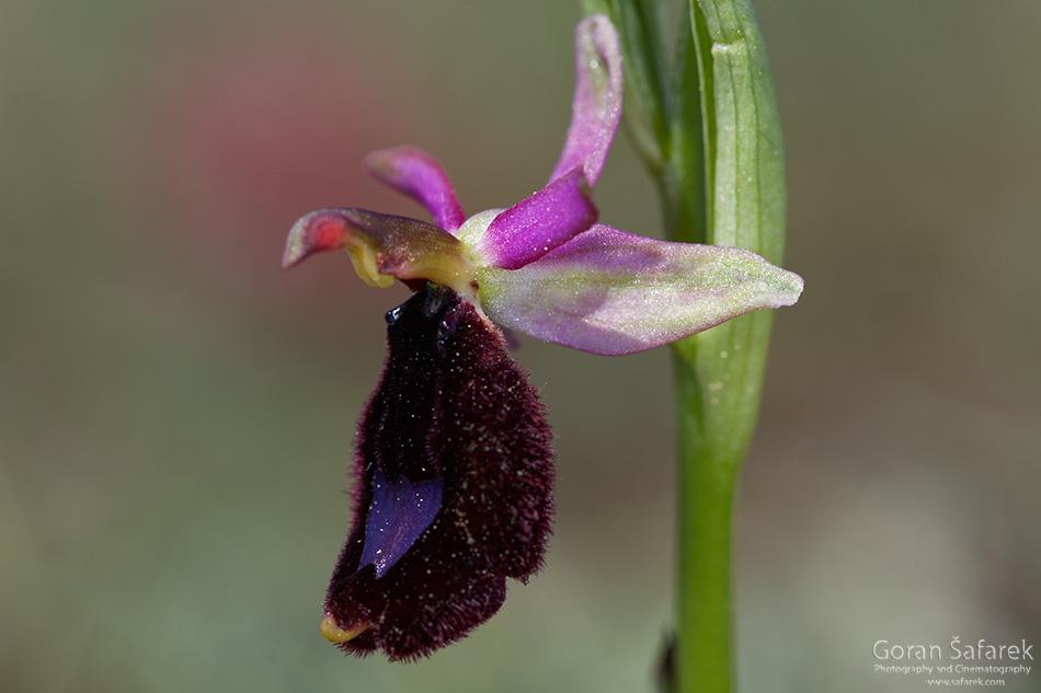 istra, kamenjak, coast, adriatic, sea, orchid