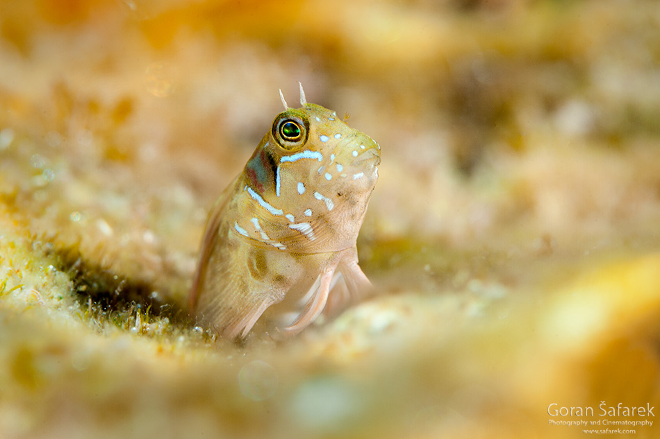 fish,istra, kamenjak, coast, adriatic, sea, diving, snorkeling, underwater