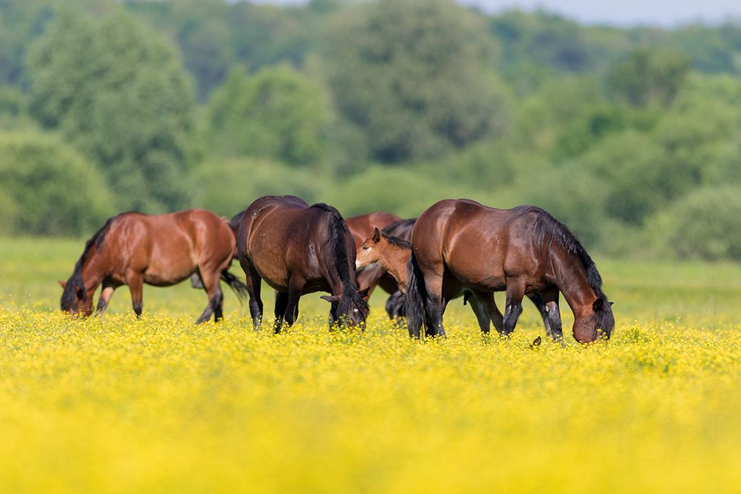 lonjsko polje, sava, zagreb, river, marsh, nature, horses, pasture