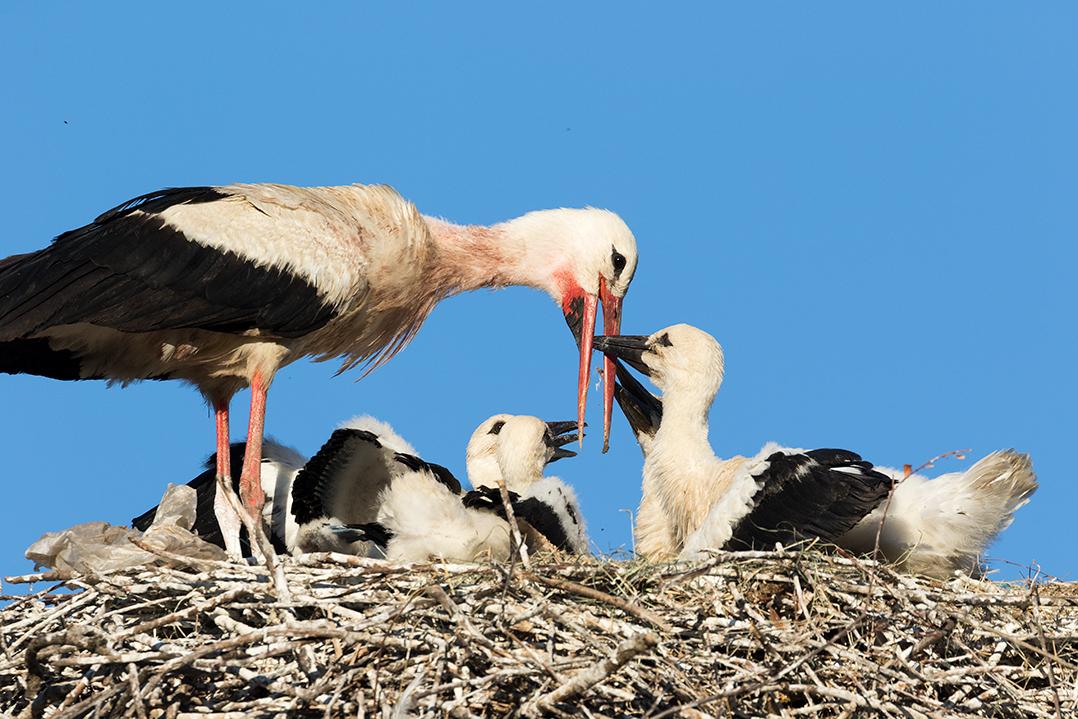 croatia, lonjsko polje, sava, zagreb, river, marsh, nature, white stork