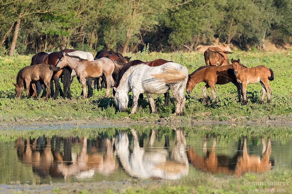 croatia, lonjsko polje, sava, zagreb, river, marsh, nature, horses