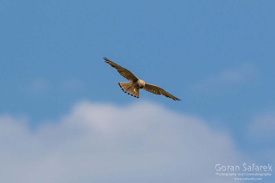croatia, velebit, lika, mountain, national park, nature park, bird, raptor, The lesser kestrel, Falco naumanni