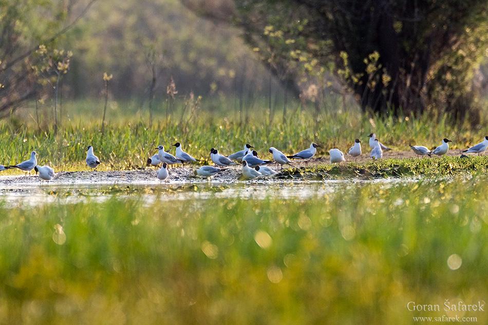 Gulls, croatia, lonjsko polje, sava, zagreb, river, marsh, nature,