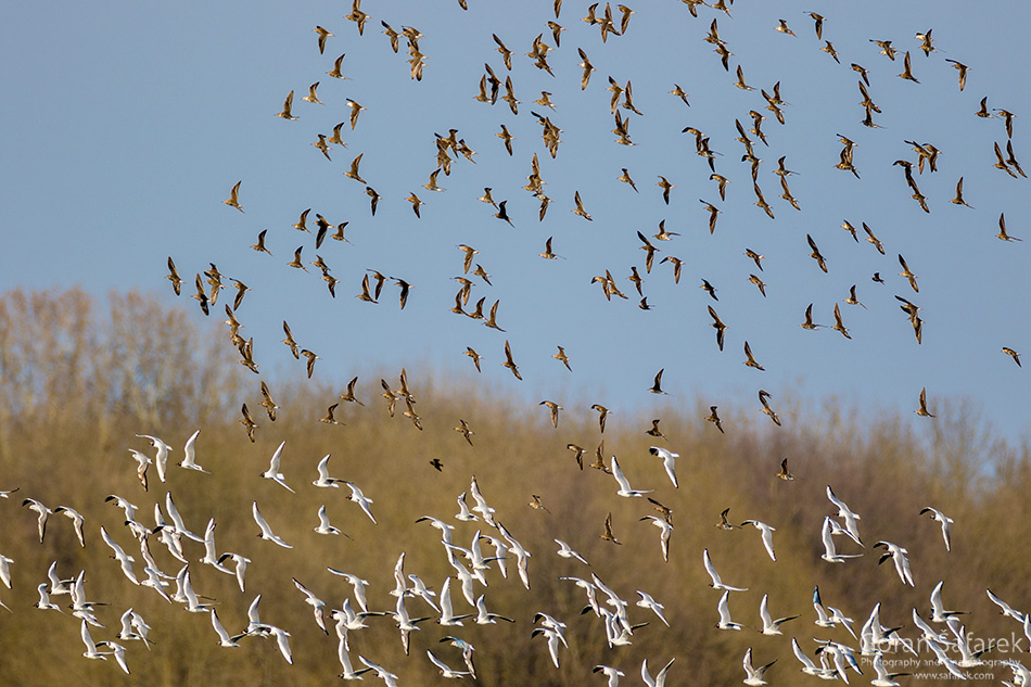 croatia, lonjsko polje, sava, zagreb, river, marsh, nature, migration, birds