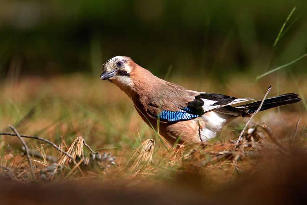 croatia, sea, brijuni, istra, croatia, national park, coast, adriatic, The Eurasian jay, Garrulus glandarius