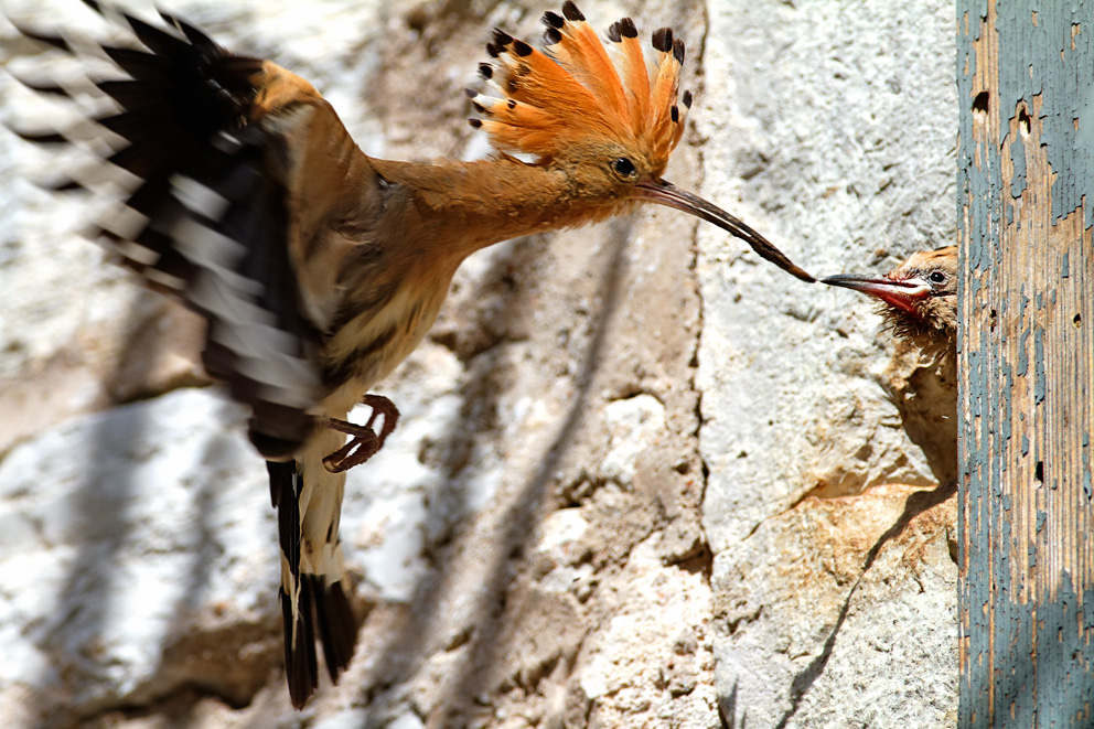 croatia, sea, brijuni, istra, croatia, national park, coast, adriatic, The Eurasian hoopoe,Upupa epops