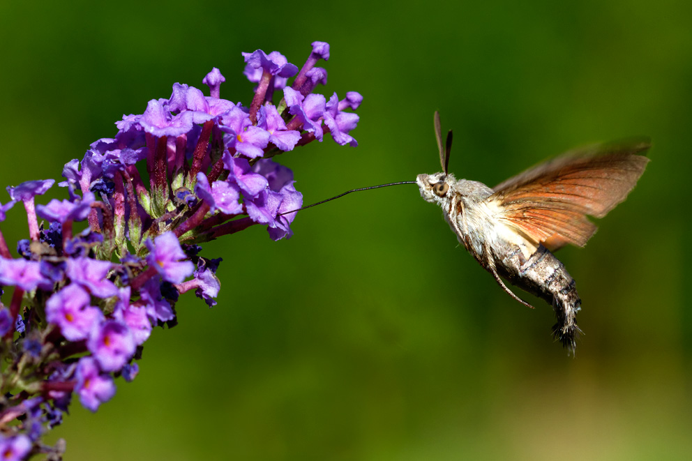 croatia, sea, brijuni, istra, croatia, national park, coast, adriatic, The hummingbird hawk-moth, Macroglossum stellatarum