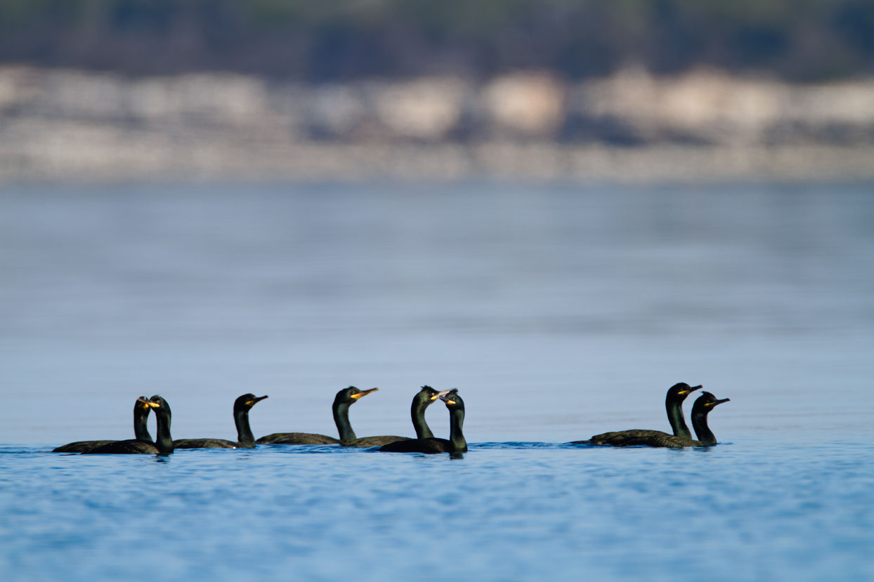 croatia, sea, brijuni, istra, croatia, national park, coast, adriatic, the shag
