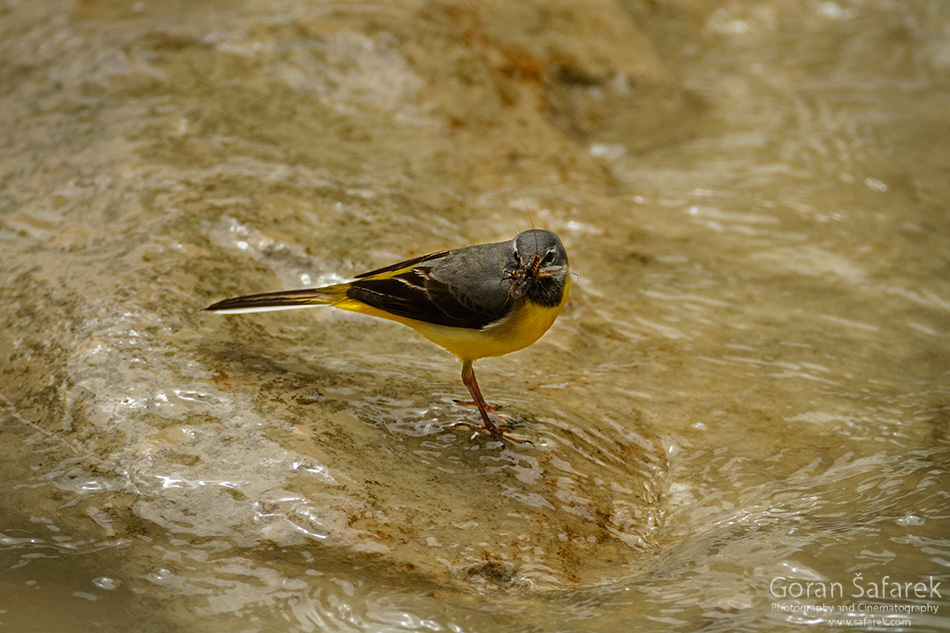 Kotli, istra, istria, croatia, village, river,watermill,rapids, waterfall, The grey wagtail, Motacilla cinerea