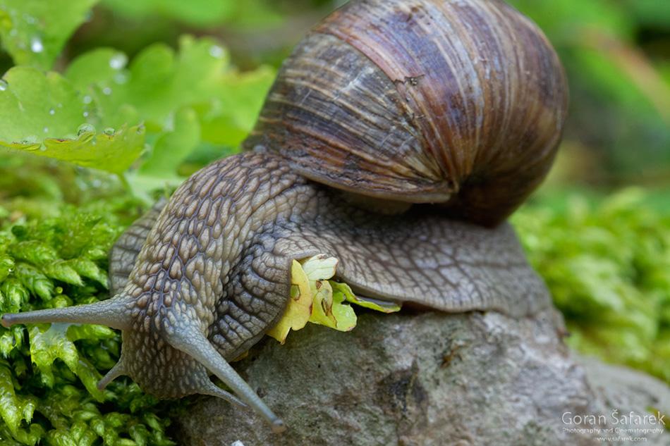 Kotli, istra, istria, croatia, village, river snail, helix pomatia