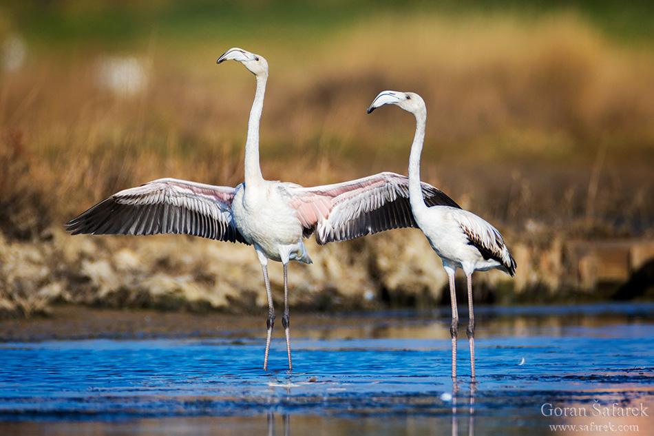nin, croatia, lagoon, royal, dalmatia, adriatic, coast,sea,sandy, beach, lagoon, saltpan, flamingo, birdwatching