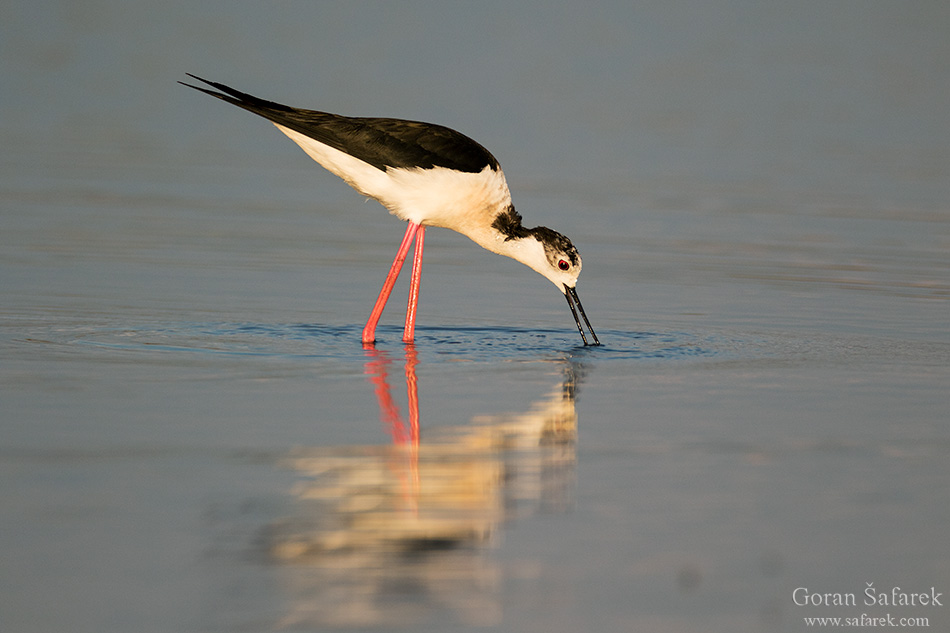 nin, croatia, lagoon, royal, dalmatia, adriatic, coast,sea,sandy, beach, birds, birdwatching,black-winged stilt, himantopus himantopus