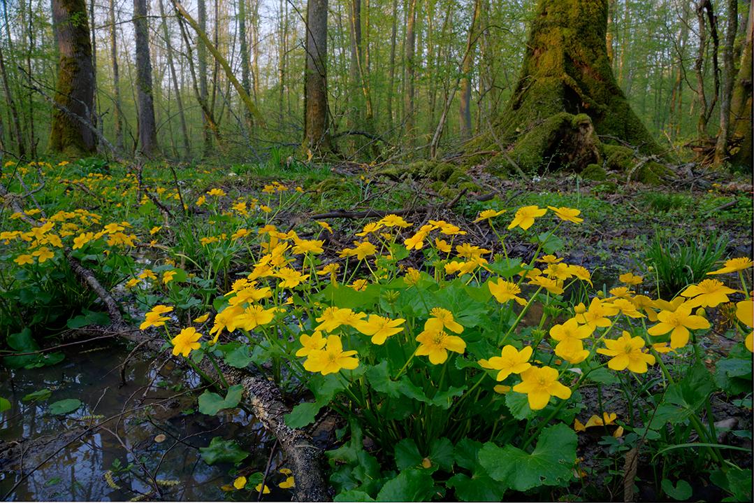 croatia, crna mlaka, fish pond, ramsar, wetland, forest, spring, flowers