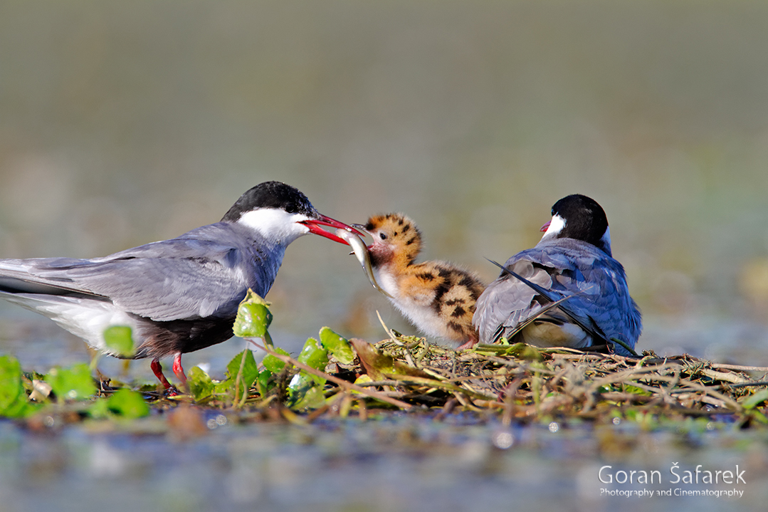 crna mlaka, fish pond, ramsar, wetland, birds, The whiskered tern, Chlidonias hybrida