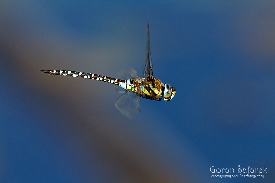 crna mlaka, fish pond, ramsar, wetland, dragonfly, The migrant hawker, Aeshna mixta