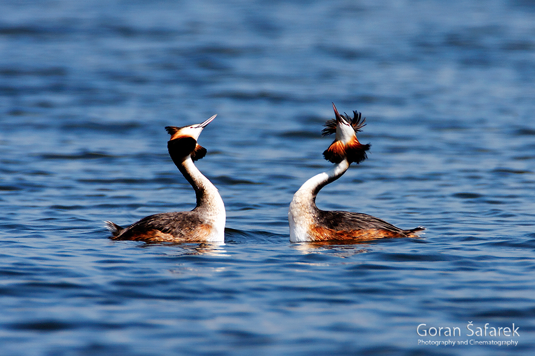 croatia, crna mlaka, fish pond, ramsar, wetland, birds, The great crested grebe Podiceps cristatus