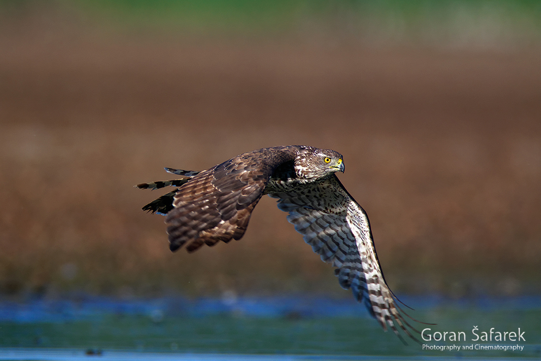 croatia, crna mlaka, fish pond, ramsar, wetland, birds, The northern goshawk, Accipiter gentilis