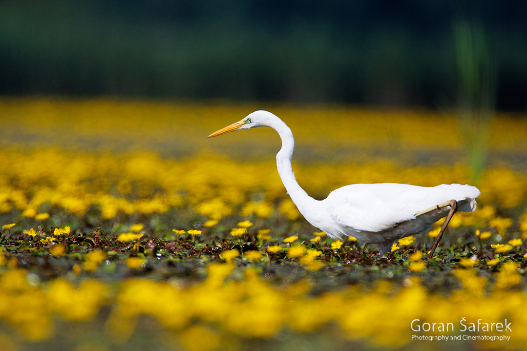 croatia, crna mlaka, fish pond, ramsar, wetland, birds, croatia, crna mlaka, fish pond, ramsar, wetland, birds, The great egret, Ardea alba