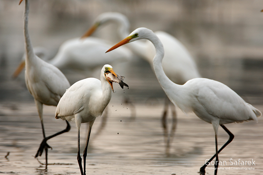 croatia, crna mlaka, fish pond, ramsar, wetland, birds, The great egret, Ardea alba