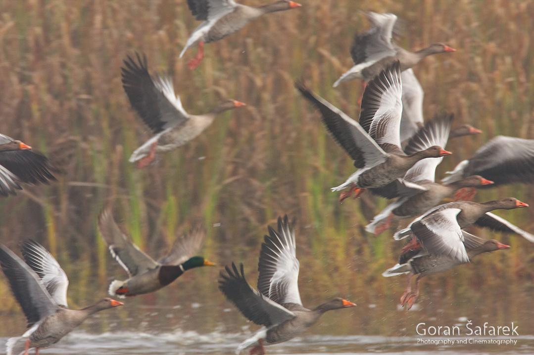 croatia, crna mlaka, fish pond, ramsar, wetland, birds, The greylag goose, Anser anser