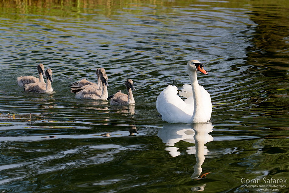 šoderica, croatia,lake, podravina, continental, plain, water, resort nature, wetland, river, swan, family