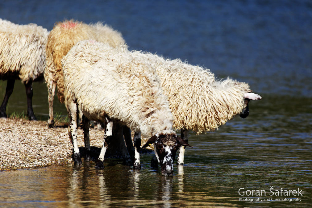 The Cetina River, dalmatia, rivers, water, valley, sheep