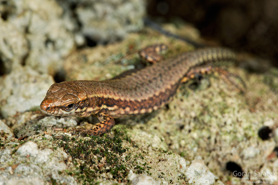 papuk, croatia, stream, mountain, nature park, slavonia, lizard