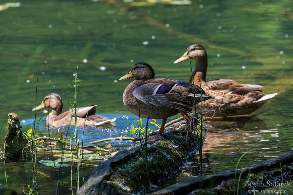 papuk, croatia, stream, mountain, nature park, slavonia, mallard, duck