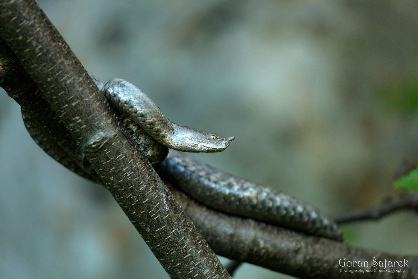 the horned viper