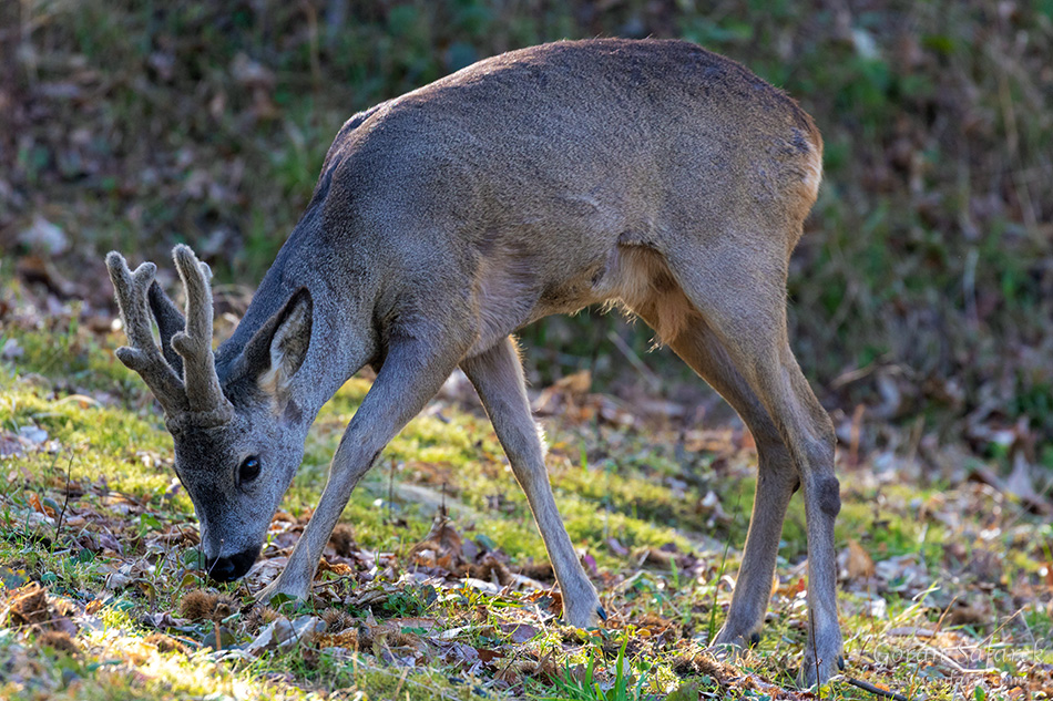 podravina, croatia, roe deer, buck