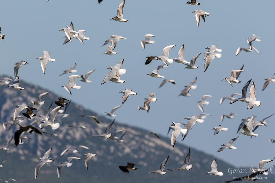 croatia, vrana lake, dalmatia,nature park, birds