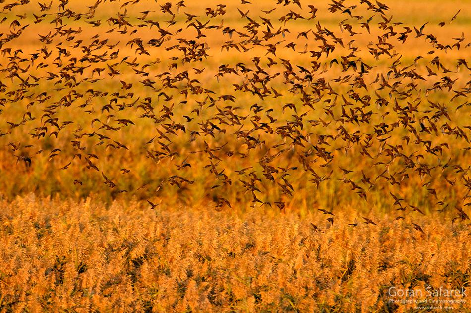 croatia, vrana lake, dalmatia,nature park, birds, starling