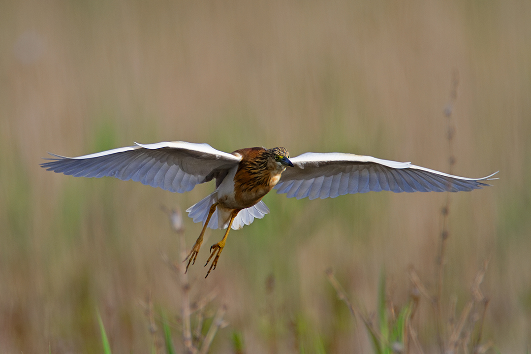 croatia, vrana lake, dalmatia,nature park, squacco heron