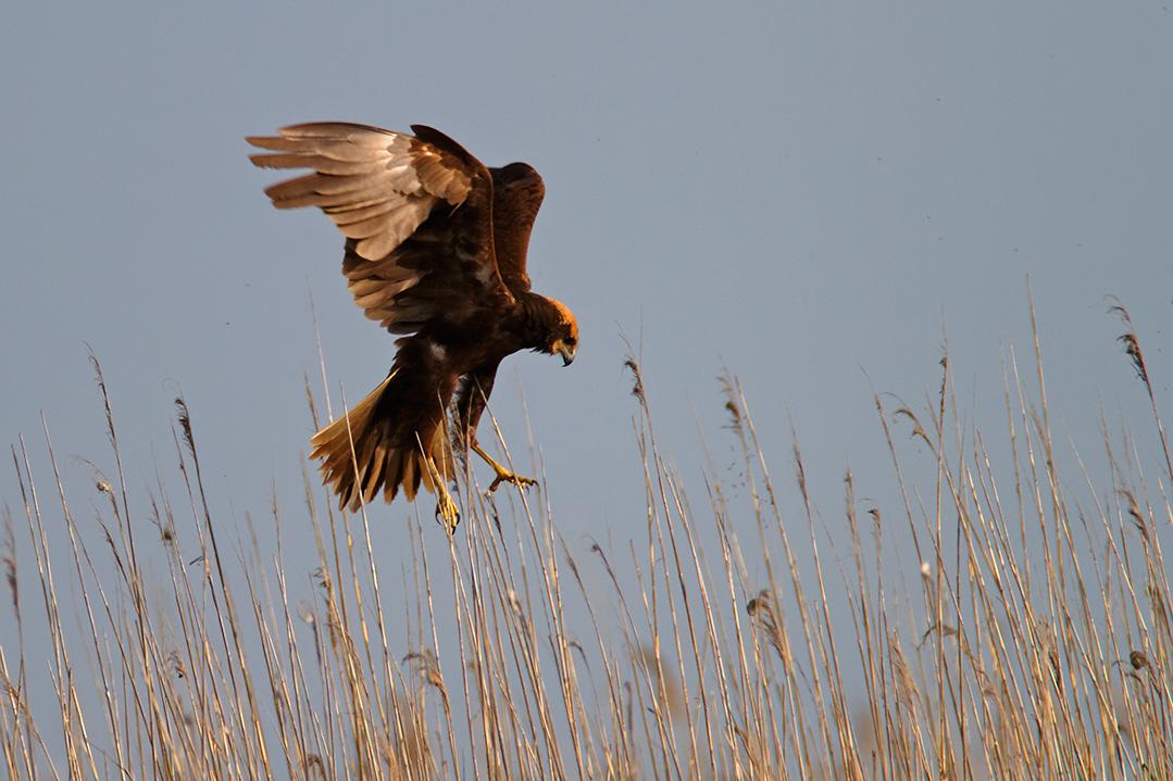 croatia, vrana lake, dalmatia,nature park, marsh harrier